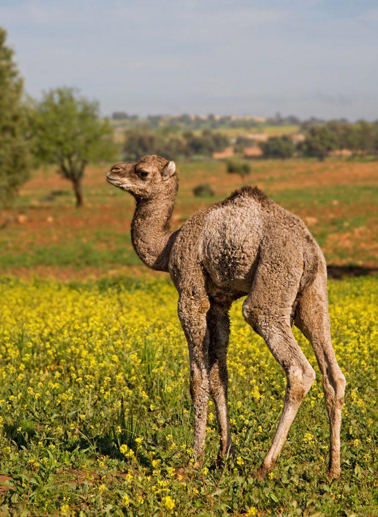 Dromedary Camel (Camelus dromedarius) young, standing amongst wildflowers, near Essaouira, Morocco, february : Stock Photo
