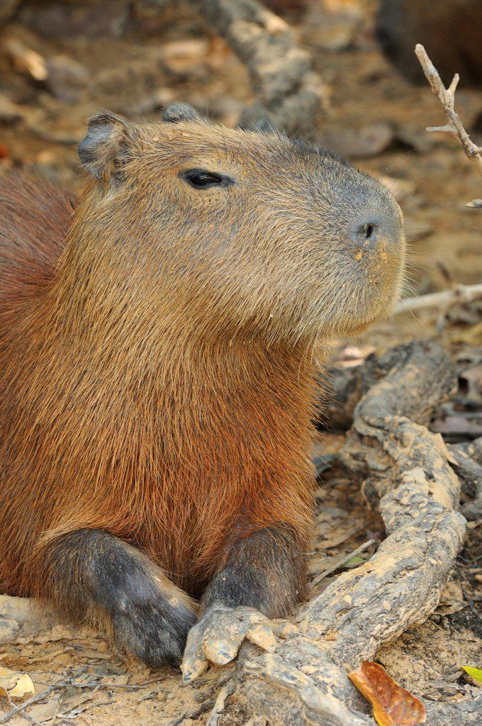 Stock Photo: 4421-15682 Capybara (Hydrochaerus hydrochaeris) adult, resting, Pantanal, Mato Grosso, Brazil