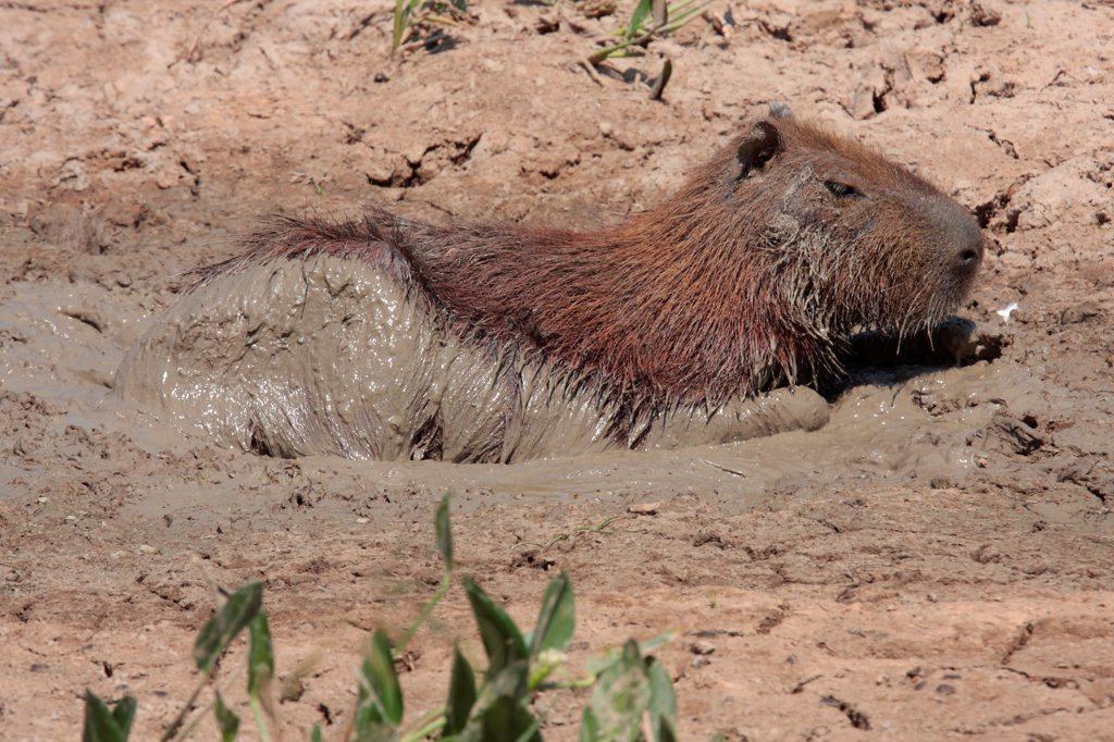 Stock Photo: 4421-15692 Capybara (Hydrochaerus hydrochaeris) adult, wallowing in mud, keeping cool at end of dry season, Pousada Araras, Mato Grosso, Brazil, august
