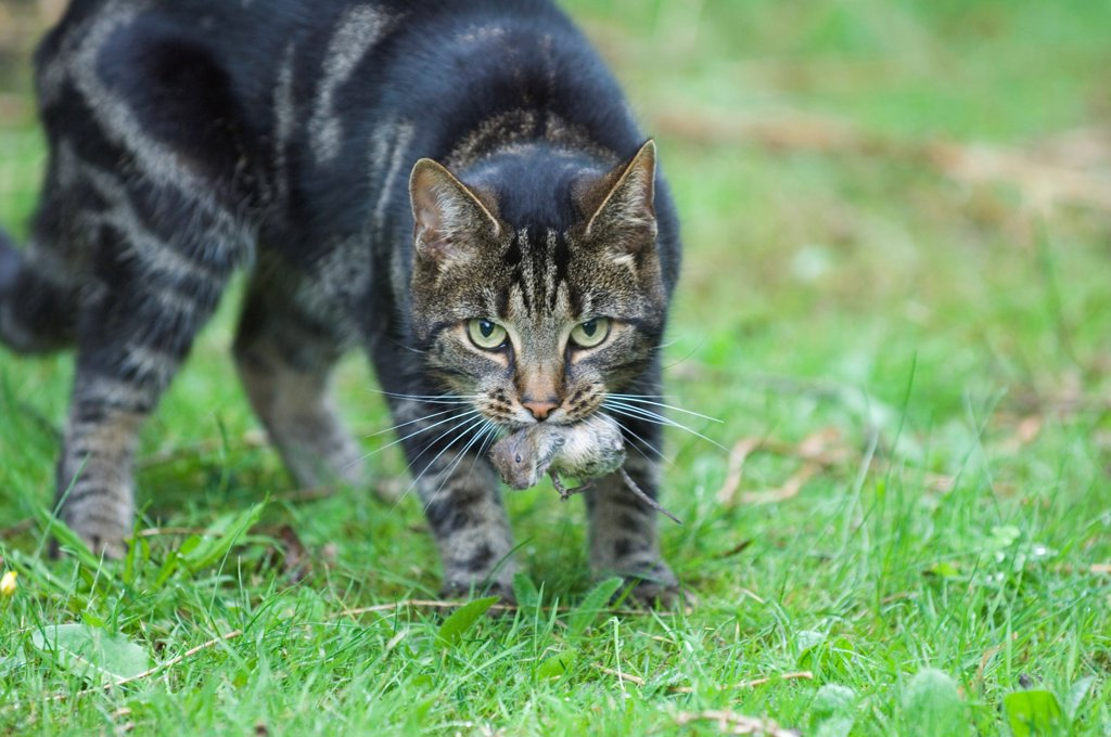 Domestic Cat, tabby, adult, with vole prey in mouth, England, august : Stock Photo