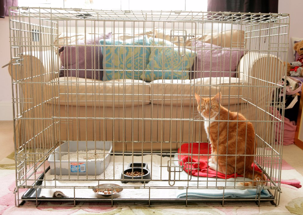 Stock Photo: 4421-15878 Domestic Cat, ginger and white tabby, adult, sitting in cage, house-bound during recovery from operation, England, august