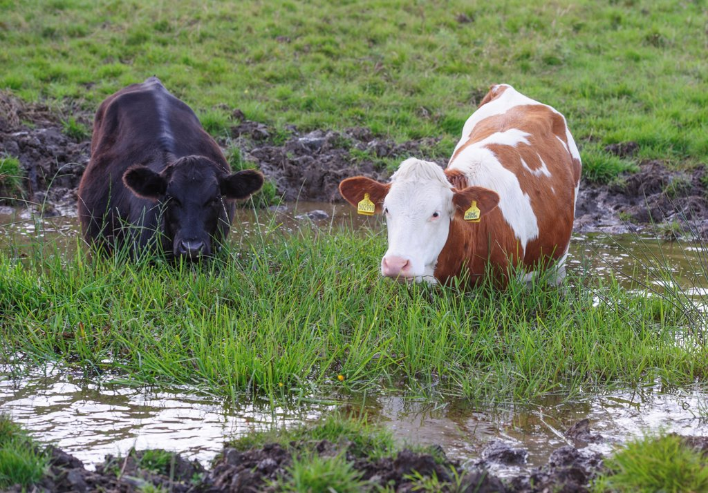 Stock Photo: 4421-16262 Domestic Cattle, beef calves, standing in farm pond, Whitewell, Lancashire, England, August