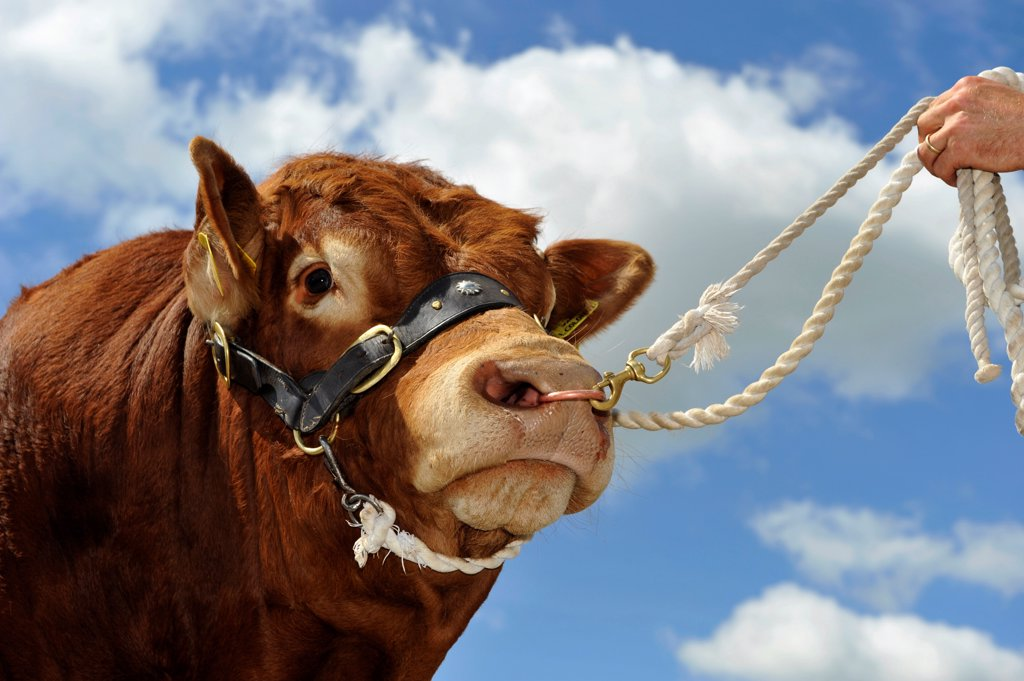 Stock Photo: 4421-16392 Domestic Cattle, Limousin bull, close-up of head, on halter held by stockman, England, july