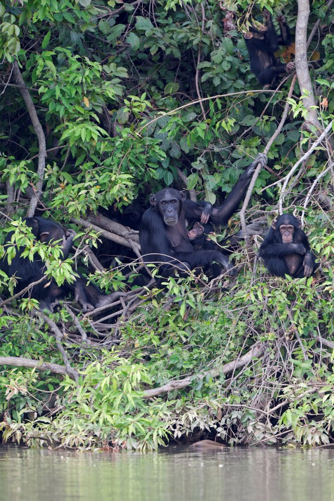 Stock Photo: 4421-16518 Chimpanzee (Pan troglodytes) adult females with young, sitting in vegetation at edge of water, Gambia River, Gambia, january