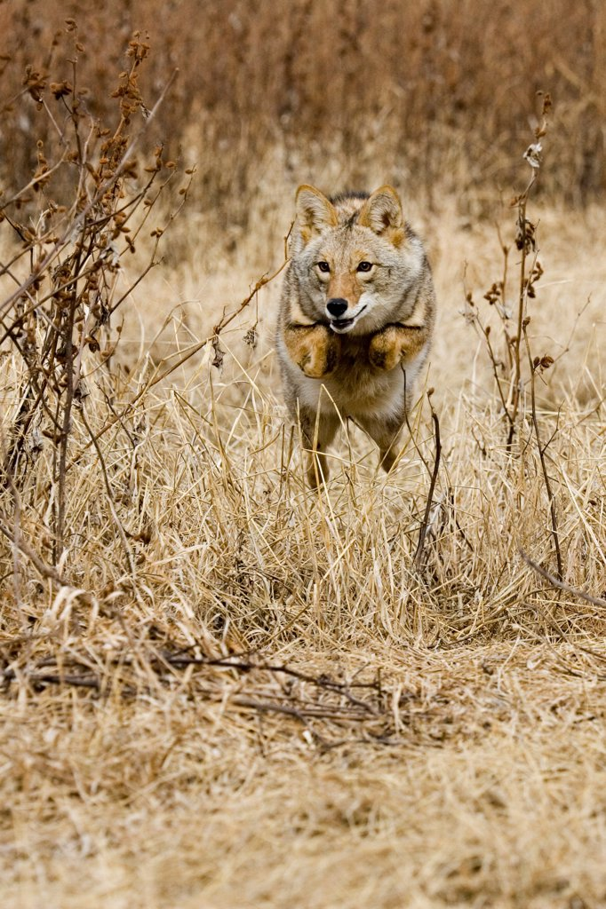 Stock Photo: 4421-16574 Coyote (Canis latrans) adult, running and leaping, U.S.A.