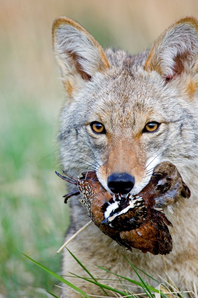Coyote (Canis latrans) adult, feeding on bobwhite quail, close-up of head, U.S.A. : Stock Photo