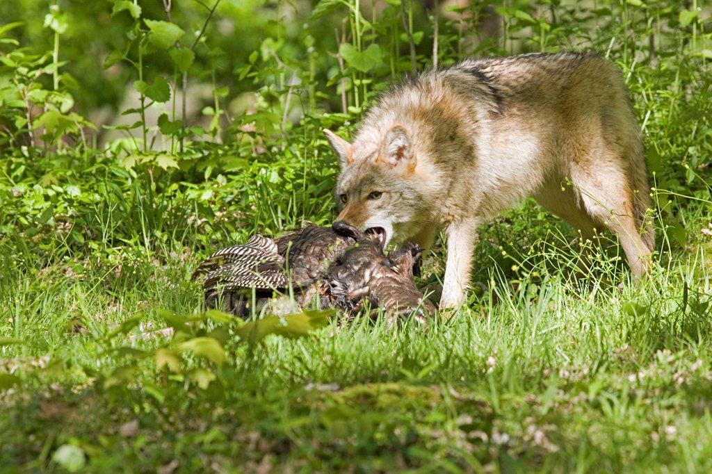 Stock Photo: 4421-16584 Coyote (Canis latrans) adult, feeding on wild turkey, U.S.A.