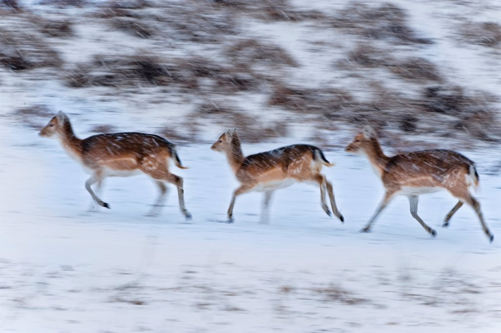 Stock Photo: 4421-16612 Fallow Deer (Dama dama) three fawns, running in snowfall, blurred movement, England, winter