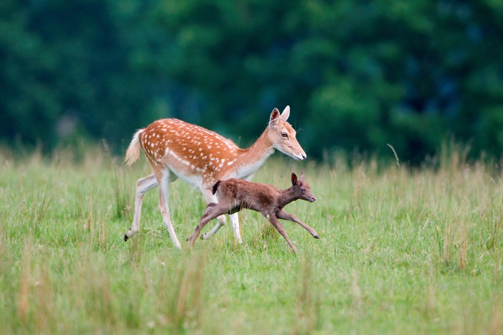 Stock Photo: 4421-16634 Fallow Deer (Dama dama) doe with two-week old fawn, running, Suffolk, England, june