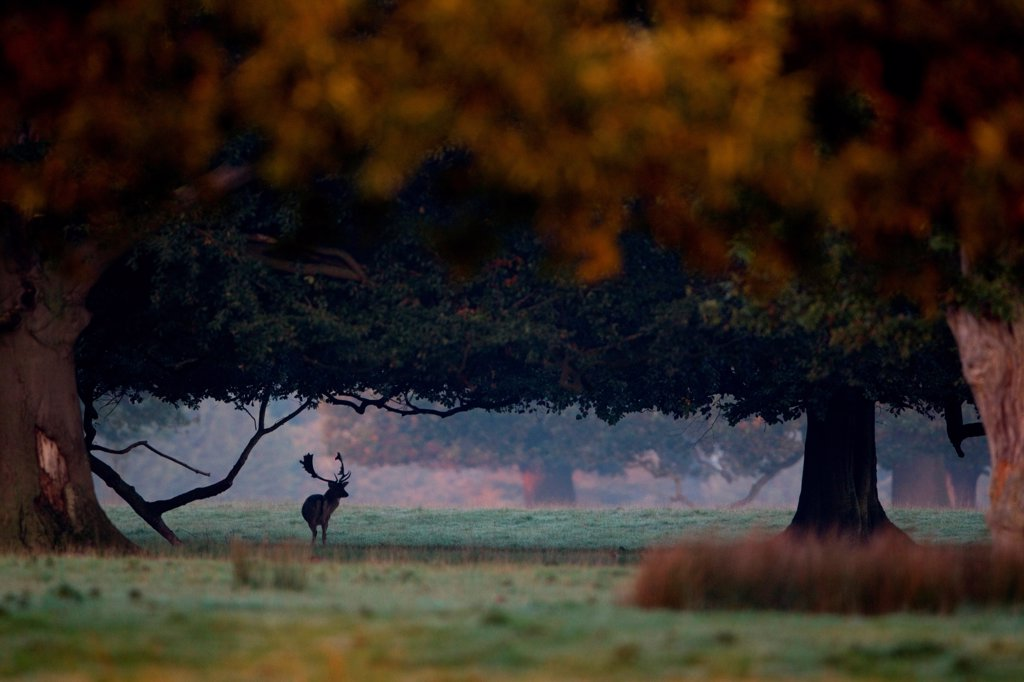 Fallow Deer (Dama dama) buck, standing in shadow of trees with browse line, during rutting season, Suffolk, England, october : Stock Photo