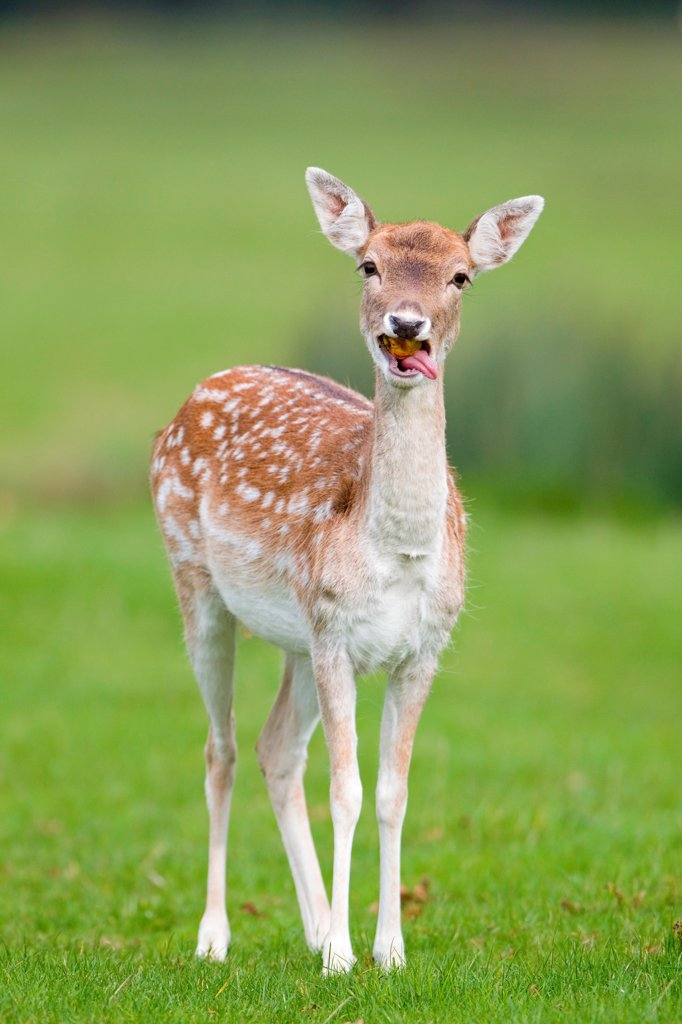 Fallow Deer (Dama dama) doe, feeding on windfall apple, Suffolk, England, october : Stock Photo