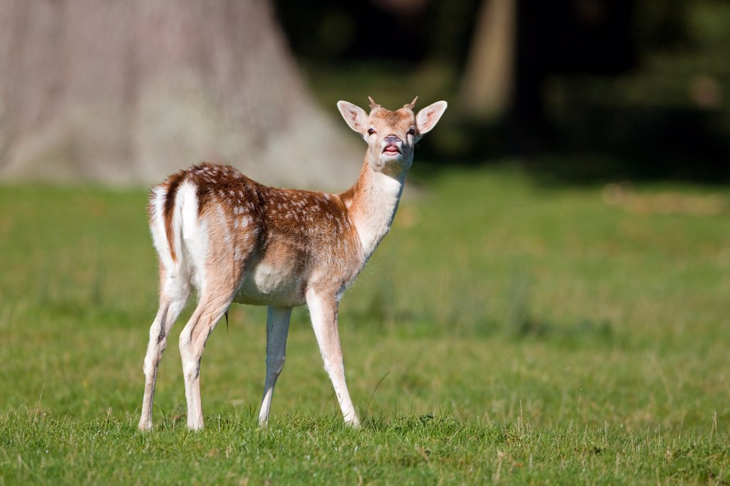 Stock Photo: 4421-16645 Fallow Deer (Dama dama) yearling buck, in flehmen response during rutting season, Suffolk, England, october