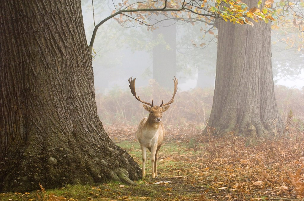 Stock Photo: 4421-16662 Fallow Deer (Dama dama) buck, standing in misty woodland habitat, Kent, England, autumn
