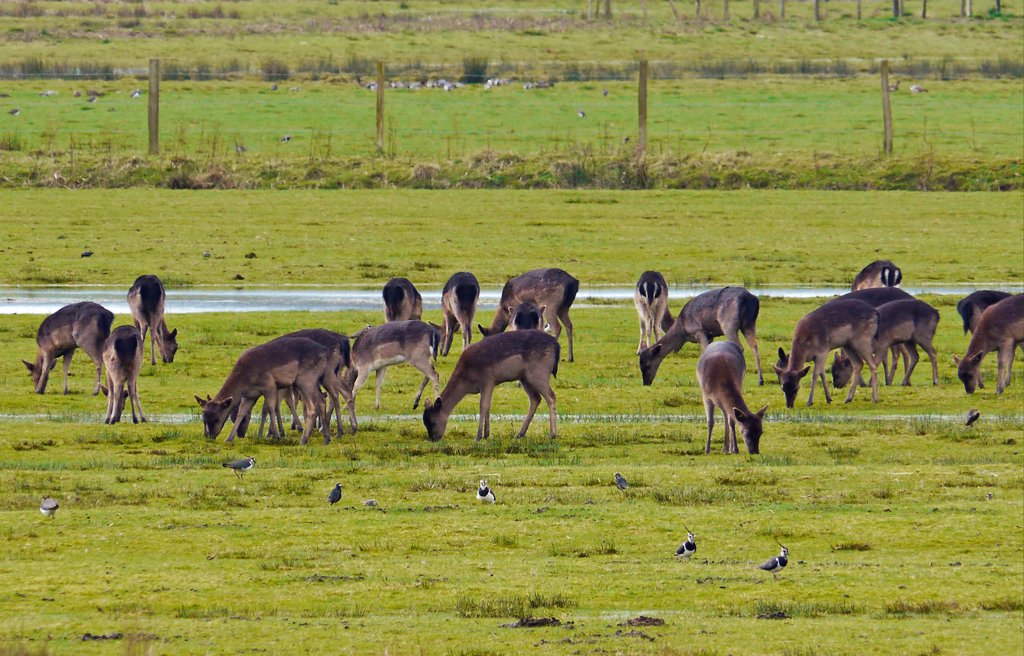 Fallow Deer (Dama dama) dark form, does and fawns, herd feeding in watermeadow habitat with Northern Lapwing (Vanellus vanellus) flock, Pulborough Brooks RSPB Reserve, West Sussex, England, march : Stock Photo