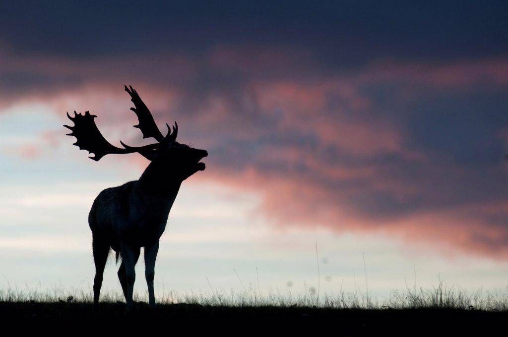 Stock Photo: 4421-16685 Fallow Deer (Dama dama) buck, roaring during rutting season, silhouetted at sunset, Kent, England, october