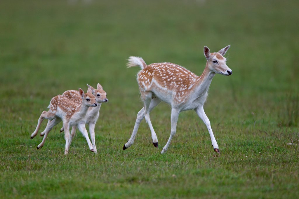 Stock Photo: 4421-16692 Fallow Deer (Dama dama) doe with two fawns, running, Helmingham Hall Deer Park, Suffolk, England, june