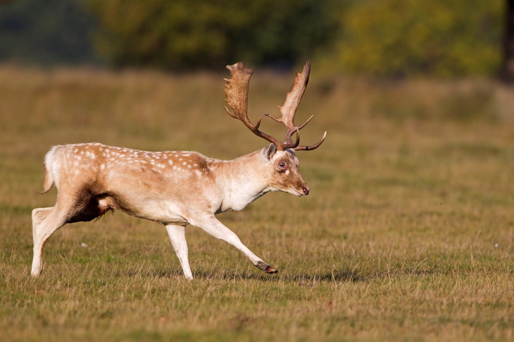 Fallow Deer (Dama dama) buck, kicking front leg out towards rival buck during rutting season, Helmingham Hall Deer Park, Suffolk, England, october : Stock Photo