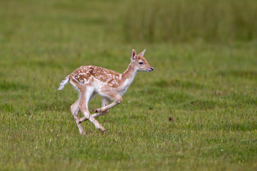 Fallow Deer (Dama dama) fawn, running, Helmingham Hall Deer Park, Suffolk, England, june : Stock Photo