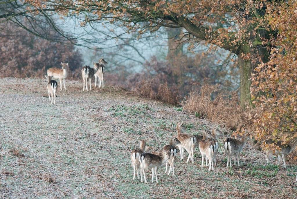 Fallow Deer (Dama dama) does, herd standing on frost covered ground, Kent, England, october : Stock Photo