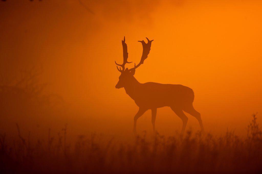 Fallow Deer (Dama dama) buck, walking, silhouetted at dawn, Norfolk, England, october : Stock Photo