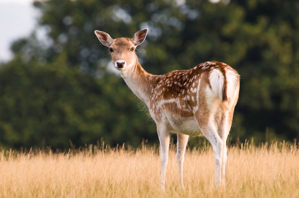 Fallow Deer (Dama dama) doe, standing in grass, Knole Deer Park, Sevenoaks, Kent, England, september : Stock Photo