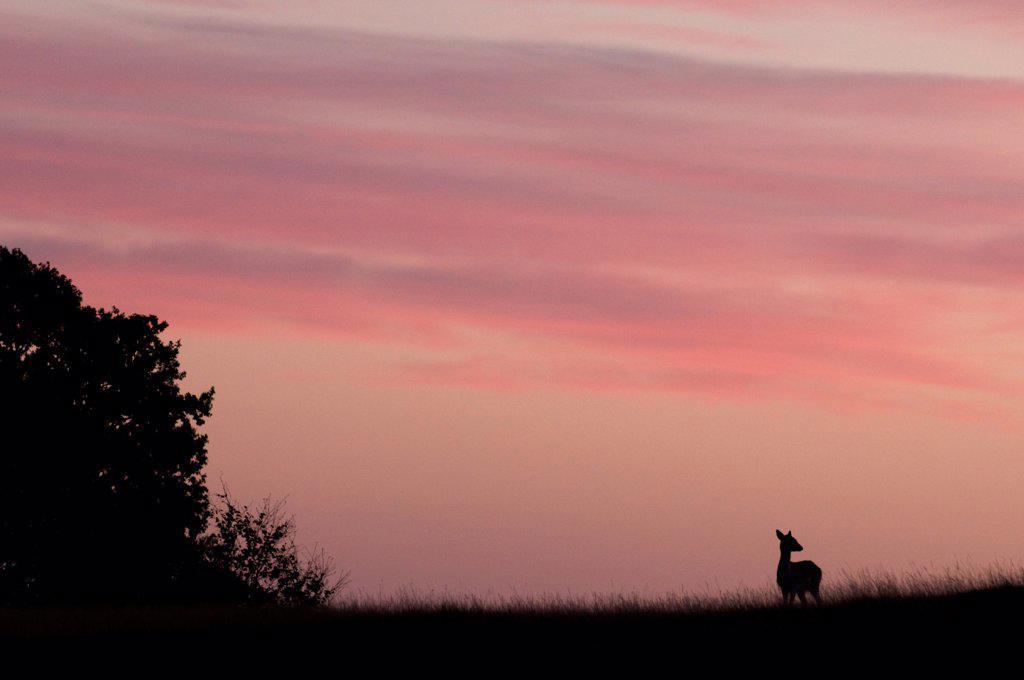 Stock Photo: 4421-16730 Fallow Deer (Dama dama) doe, silhouetted at sunrise, Kent, England, october