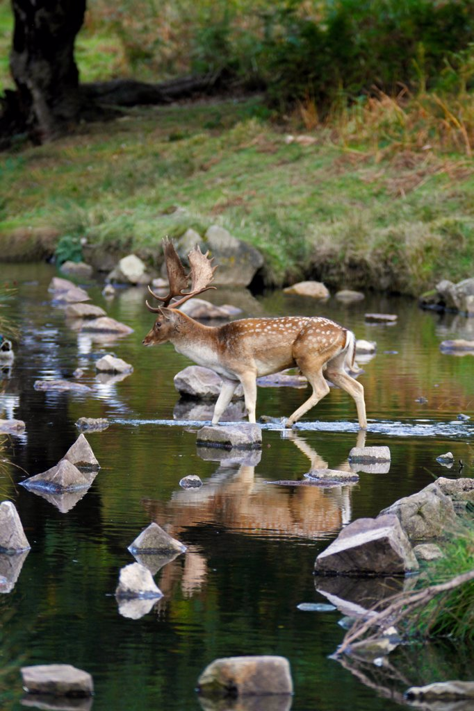 Fallow Deer (Dama dama) buck, crossing brook with reflections, Leicestershire, England, october : Stock Photo