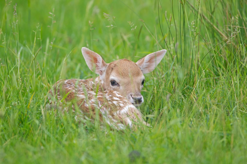 Stock Photo: 4421-16744 Fallow Deer (Dama dama) fawn, resting in grass, Suffolk, England, june