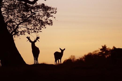 Red Deer (Cervus elaphus) stag and hind, silhouette beside oak tree at sunset, Norfolk, England, december : Stock Photo