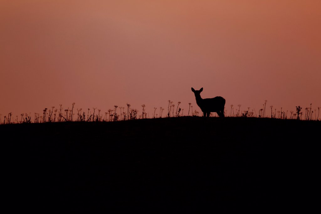 Stock Photo: 4421-16893 Red Deer (Cervus elaphus) four month old calf, silhouetted st sunset, Minsmere RSPB Reserve, Suffolk, England, october