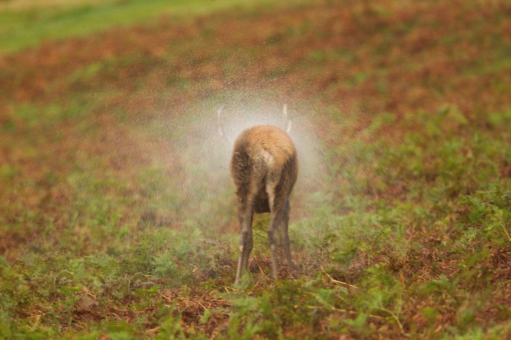 Stock Photo: 4421-16907 Red Deer (Cervus elaphus) stag, shaking water from coat after rainstorm, during rutting season, Bradgate Park, Leicestershire, England, november