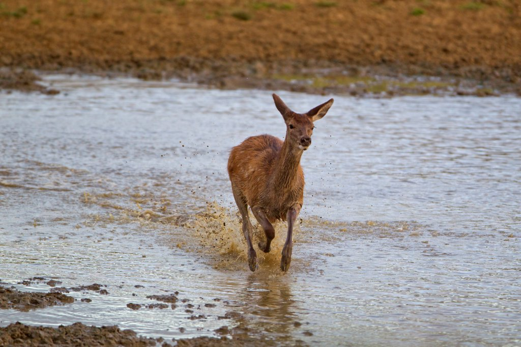 Stock Photo: 4421-16951 Red Deer (Cervus elaphus) calf, running through water, during rutting season, Minsmere RSPB Reserve, Suffolk, England, october