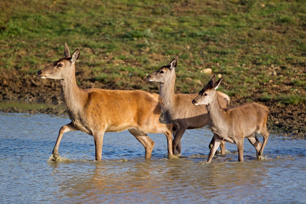 Stock Photo: 4421-16986 Red Deer (Cervus elaphus) hind with two calves, wading in pool, during rutting season, Minsmere RSPB Reserve, Suffolk, England, october