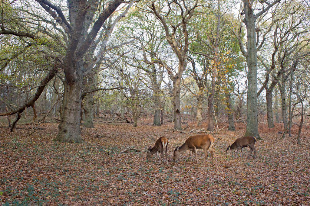 Red Deer (Cervus elaphus) hind and two yearling calves, feeding in woodland habitat, Minsmere RSPB Reserve, Suffolk, England, november : Stock Photo