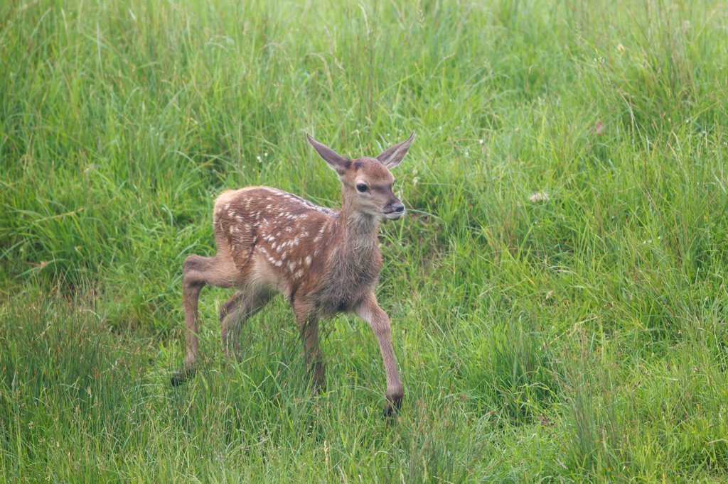 Stock Photo: 4421-17047 Red Deer (Cervus elaphus) calf, walking in meadow, Suffolk, England, june
