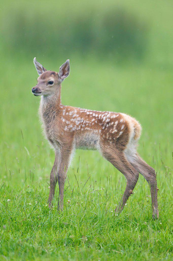 Red Deer (Cervus elaphus) calf, standing in meadow, Suffolk, England, june : Stock Photo