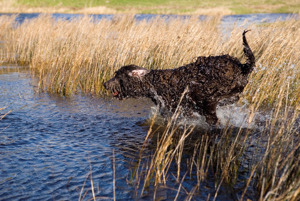 Domestic Dog, Labradoodle, young female, playing in water, Gosport, Hampshire, England, autumn : Stock Photo