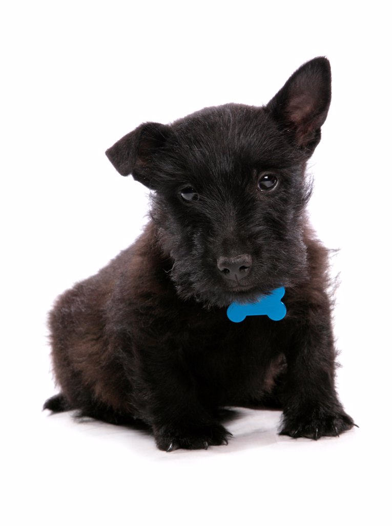 Stock Photo: 4421-17537 Domestic Dog, Scottish Terrier, puppy, with collar and tag, sitting