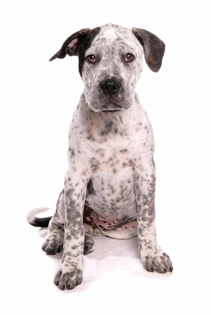 Stock Photo: 4421-17590 Domestic Dog, Staffordshire Bull Terrier x American Bulldog, puppy, sitting