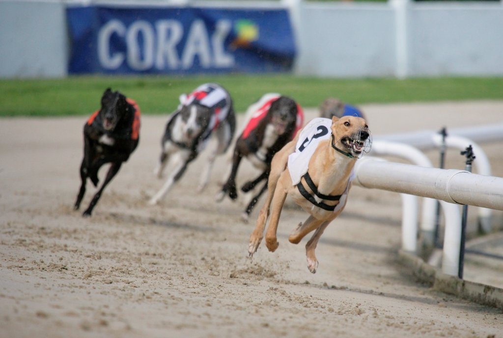 Domestic Dog, Greyhound, adults, racing at track, England, july : Stock Photo