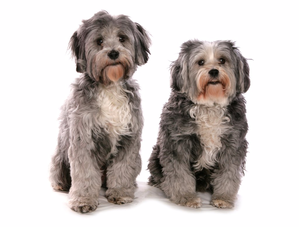 Domestic Dog, Tibetan Terrier, two adults, sitting : Stock Photo