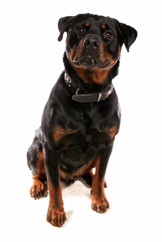 Domestic Dog, Rottweiler, adult, sitting, with collar : Stock Photo