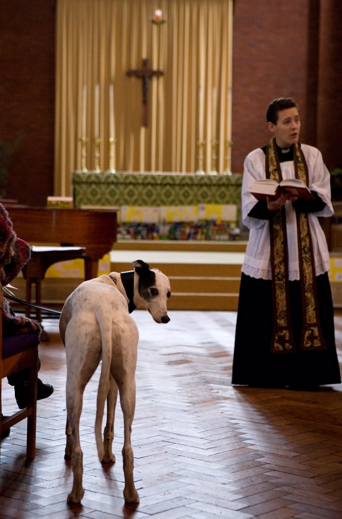 Stock Photo: 4421-17785 Domestic Dog, Greyhound, adult, standing in aisle during blessing at church service for pets, England, october