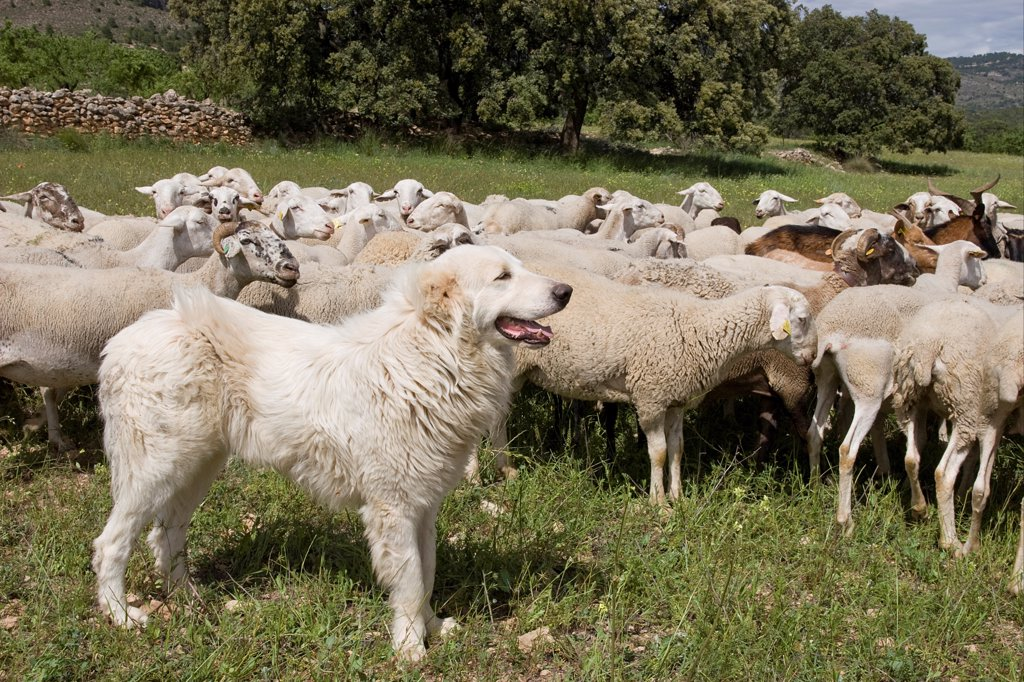 Domestic Dog, livestock guardian dog, guarding mixed sheep and goat flock, Sierra de Segura Mountains, Castilla la Mancha, Spain, may : Stock Photo