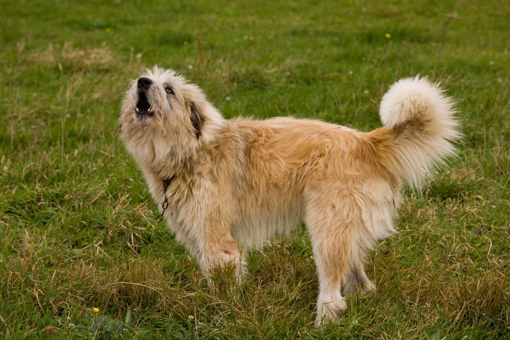 Stock Photo: 4421-17924 Domestic Dog, livestock guardian sheepdog, barking, guarding sheep flock, near Saxon village of Soars, Transylvania, Romania, october