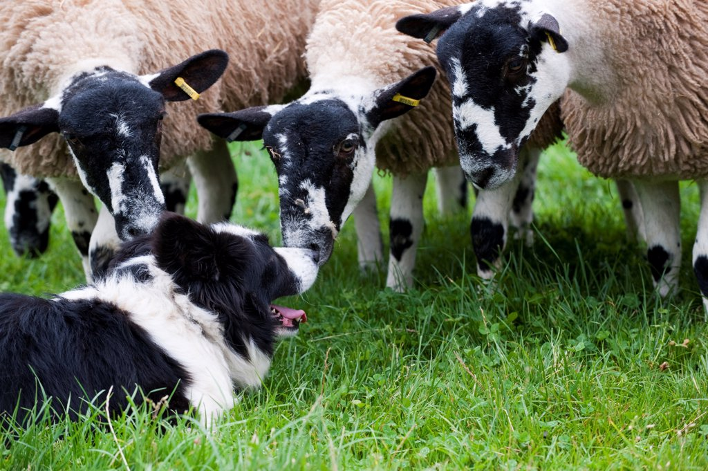 Domestic Dog, Border Collie sheepdog, adult, with mule sheep in pasture, England, september : Stock Photo