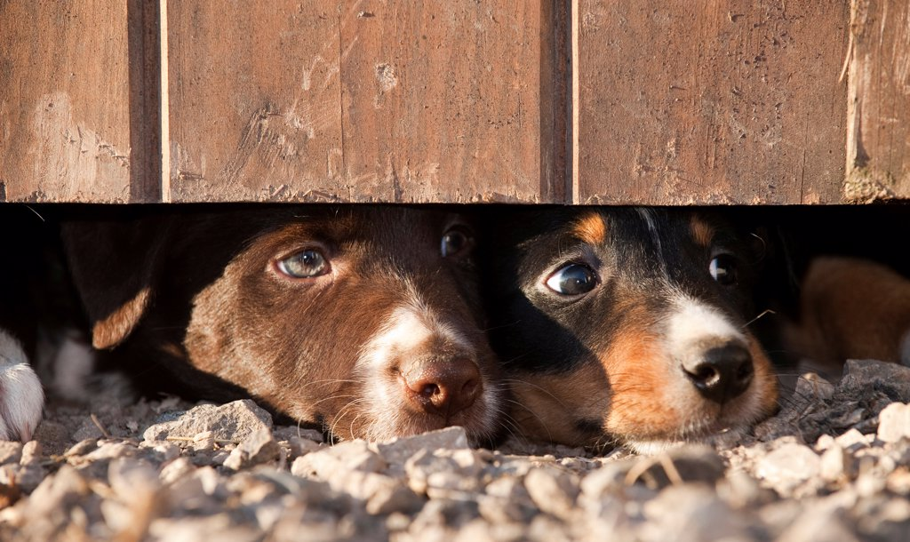 Domestic Dog, Border Collie sheepdog, two puppies, looking under door on farm, England, september : Stock Photo