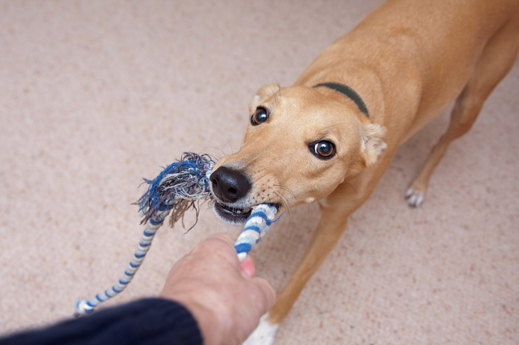 Stock Photo: 4421-17954 Domestic Dog, Lurcher cross mongrel, adult female, playing tug-of-war with owner, England