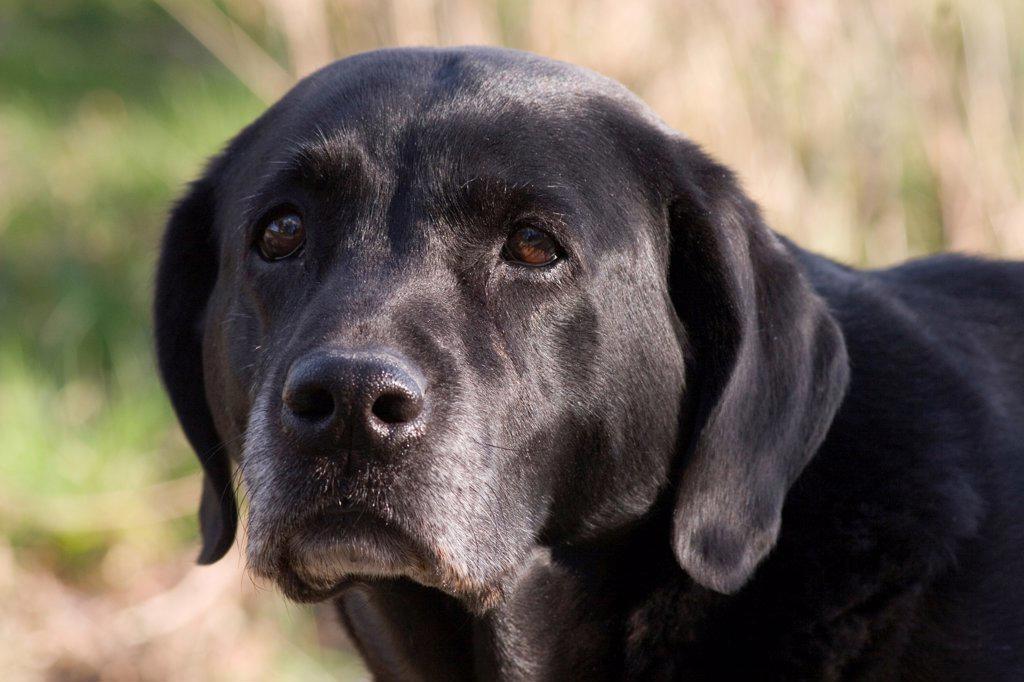 Stock Photo: 4421-17968 Domestic Dog, Black Labrador Retriever, elderly adult, close-up of head, England