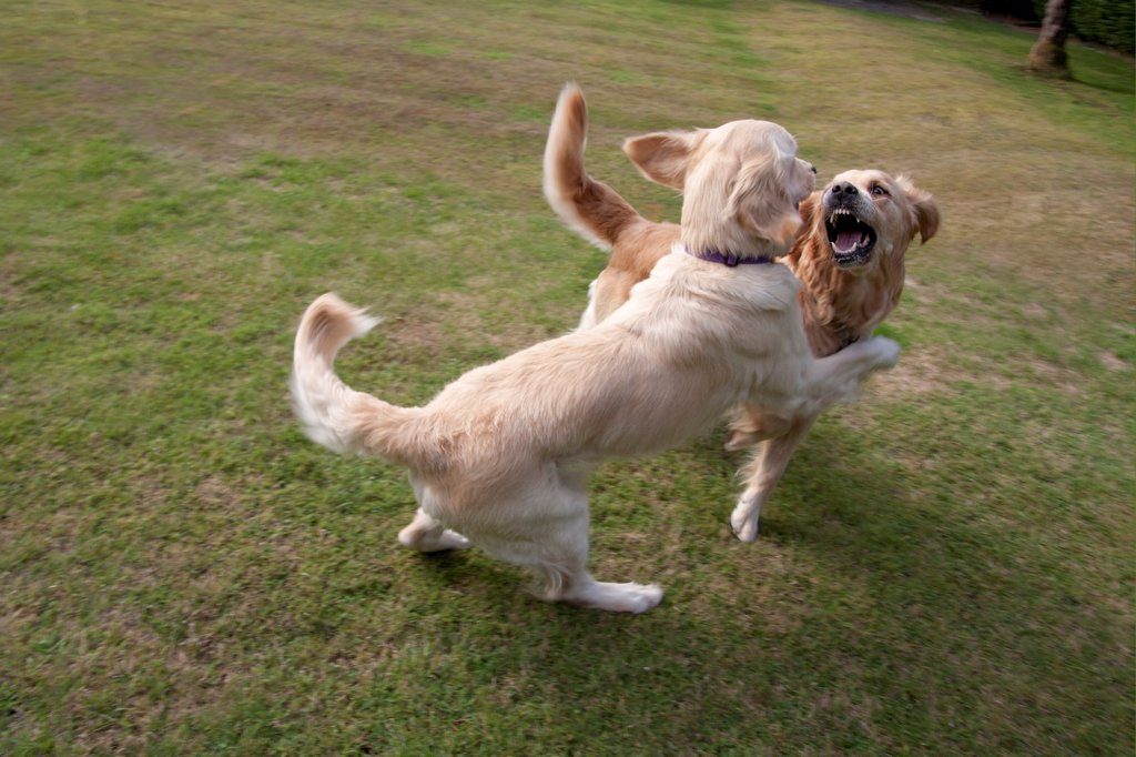 Stock Photo: 4421-18013 Domestic Dog, Golden Retriever, two adult females, playfighting on garden lawn, England, august